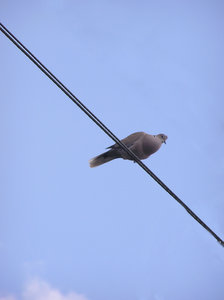 Bird on a wire: A pigeon.