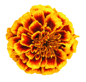Orange flower: A flower. Isolated, should be with a path for Photoshop.