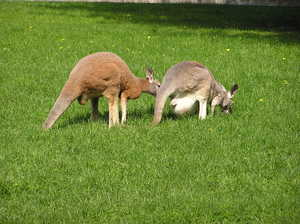 Kangaroos: Some kangaroos in the zoo in Warsaw