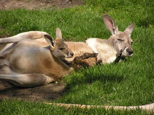 Kangaroo with a young one: A kangaroo mother with a young joey in her pouch.