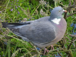 Pigeon: A pigeon in Regent's Park, London.