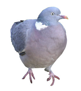 Pigeon: A bird isolated.