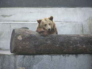 Brown bear: A brown bear in the zoo