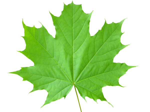 Maple leaf: A maple leaf.Please mail me or comment this photo if you found it useful. Thanks!