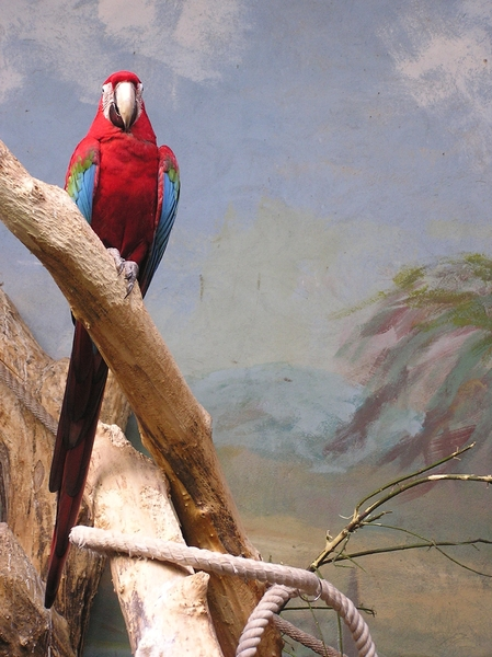 Ara parrot: A huge parrot on the tree. Warsaw's Zoo.