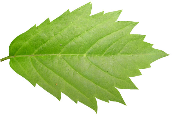 Green leaf: A leaf it is.