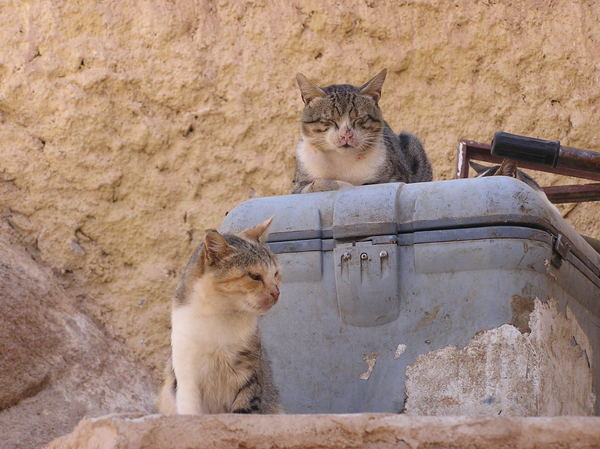 Cats of Saint Catherine: Egyptian cats of Saint Catherine monastery.