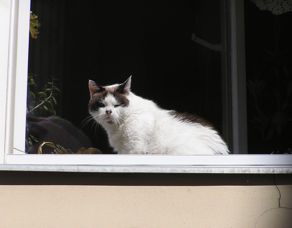 Cat in the window: A cat in the window. Fluffy and fat ;-)