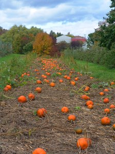 Pumpkin Time: Autumn season on the Pumkin Farm where you can pick your own in the field.
