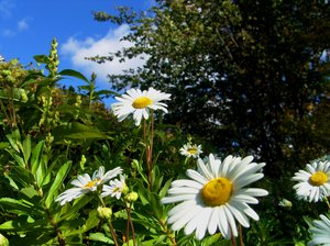 Carefree daisy flowers smiling: This patch of daisy flowers are located on the Brige of Flowers at Shelburn Falls, MA