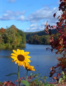Sunflowers mirror of fall: These sunflowers mirror the fall colors.