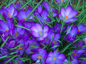 Springs Delight: First sign of Spring, flowers popping up in bright shades of Purples. Makes a great desk top photo.
