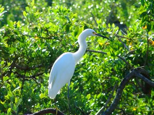 White Crane in the Keys: Photo of White Crane in the Florida Keys Mangrove, sunning in the tree tops early morning.