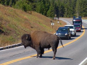 Traffic Bison Jam: Traffic was held up for about 30 minutes while this Bison which was part of a herd was migrating within Yellowstone National Park, Wyoming - third week of Sept 2011.