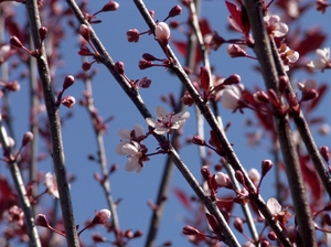 Flowering Plum Tree: This fruitless flowering Plum Tree is a real promise that Spring has arrived when it flowers.