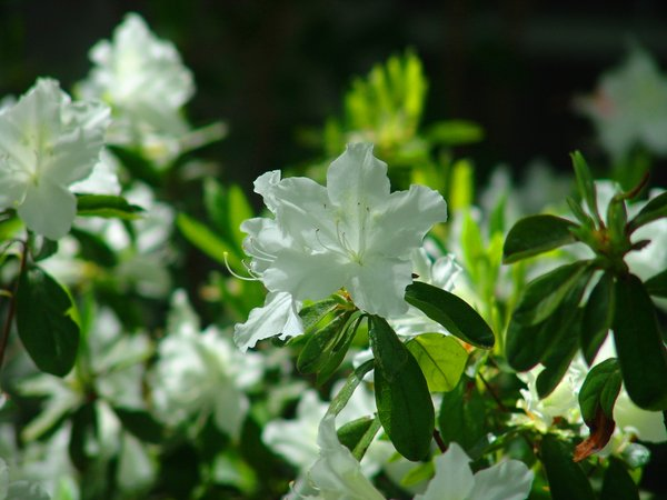 White Flowers in the Garden: White Flowers with green leaves early spring.