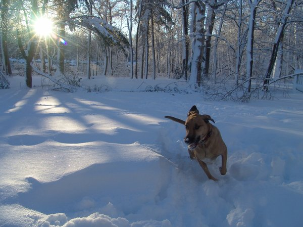 Hound Dog in snow: Hound Dog running in the morning snow after storm past, on the trail of a scent.