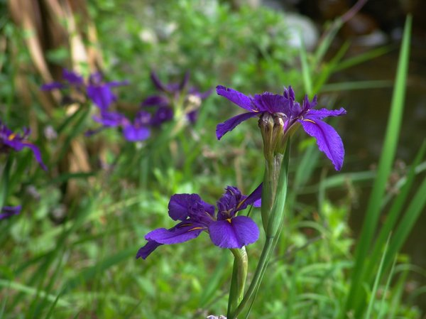Springtime Flags: Iris flowers growing wild mid-spring. Great purple and green.