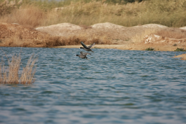 Coot: common coots in Meighan Wetland, iran