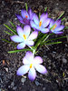 Easter Path: A small cluster of crocus  that grew up in my stoney path - gratuitous  new life - just like the new life of Easter.