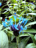 Cornflowers: Striking blue and purple hues of the perennial cornflower