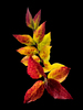 Autumn Glory on black: A branch displaying the rich hues of autumn