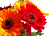 Red and gold gerbers: Vibrant red and gold coloured gerbers