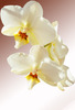 Delightful Orchid: Orchid coming into flower