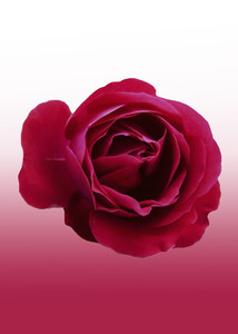 Red Rose: Red Rose  with velvet texture