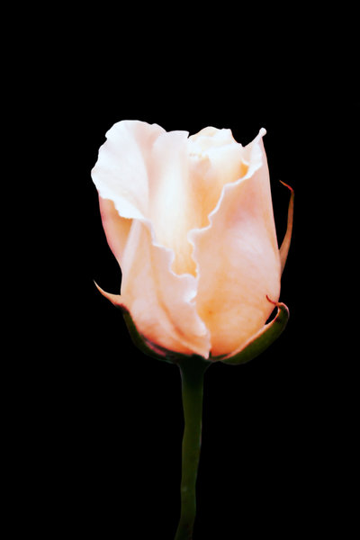 Blushing Rose: white rose with a hint of pink