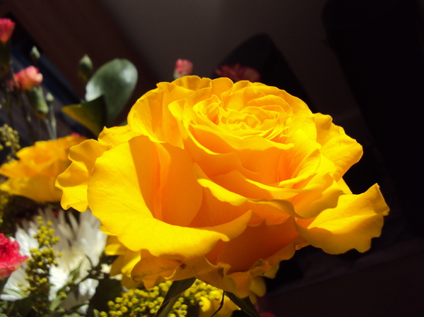 Sunshine yellow Rose: Crisp clean delightful rose