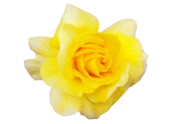 yellow roses: a selection of yellow blooms