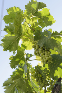 Young bunches of grapes 1: Young bunches of grapes silhouetted against the blue sky in a summer day.