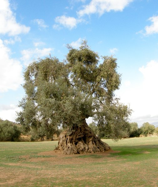 The Queen 4: ancient olive in ortumannu sardinia