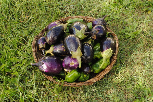 eggplants and peppers 1: eggplants and peppers freshly picked garden with a basket