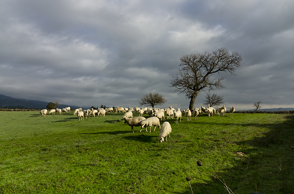 The pasture 1: Fields in spring set amongst the hills with sheep grazing and a large oak on a cloudy sky.