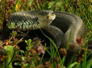 Serpente (Natrix Natrix):