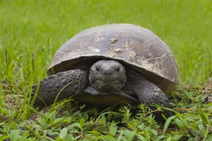 Here's Looking at You: unblinking Gopher Tortoise stares at the camera-or maybe the photographer in SW Florida.