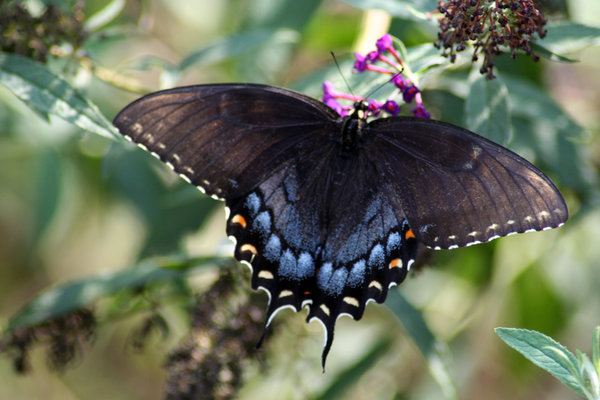 BLACK SWALLOWTAIL BUTTERFLY: HAVE BEEN TRYING FOR TWO WEEKS TO CATCH ONE OF THESE.