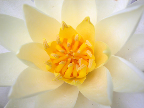 WHITE WATER LILY CENTER: THE CENTER OF ONE OF MY WHITE WATER LILIES.