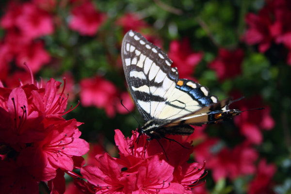 TIGER ON AZALEA VIEW 2: SWALLOWTAIL BUTTERFLY ON RED AZALEA