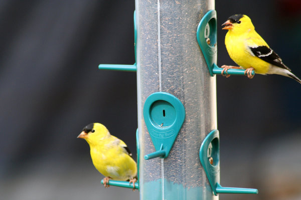 GOLD FINCH 1: AMERICAN GOLD FINCH