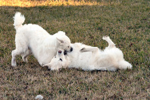Dog Fight: Twin dogs wrestling
