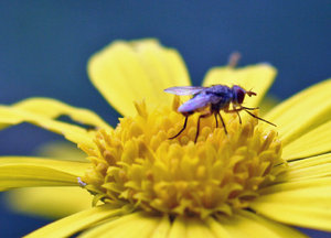 Common Fly: Fly on a flower