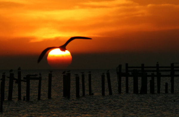 Sun Hugger: Seagull at sunrise against the rising sun over Galveston Bay, Texas