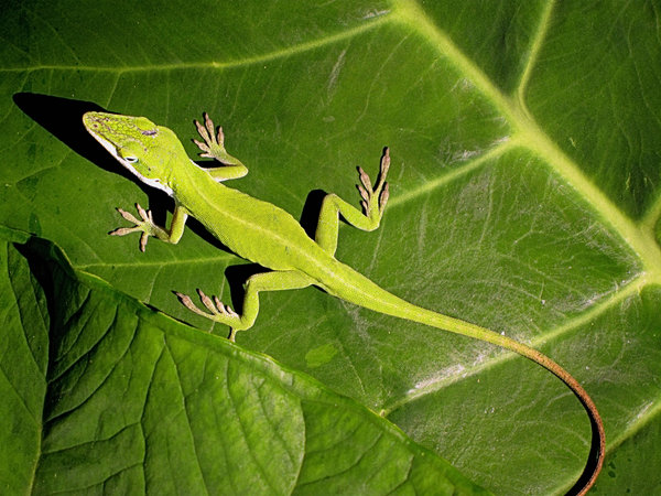Green Anole : I have a population explosion of these in my garden this year.