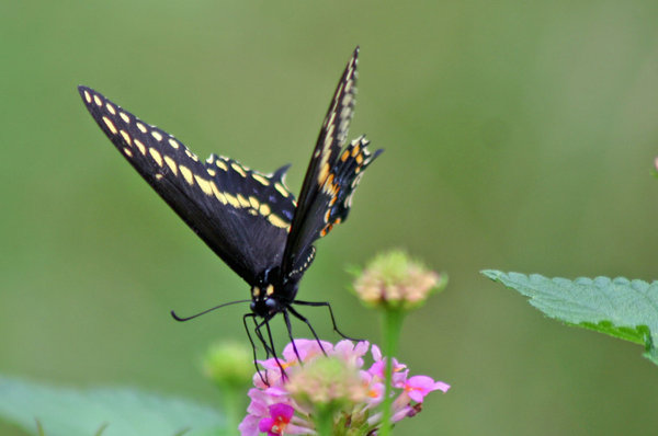 Black Butterfly: He was posing for me
