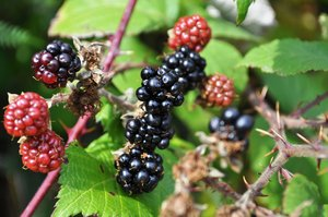 Wild blackberries: no description