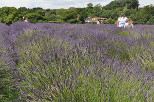 Lavender field: Lavender field on the south downs