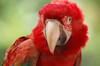 parrot series  1: red Guacamaya